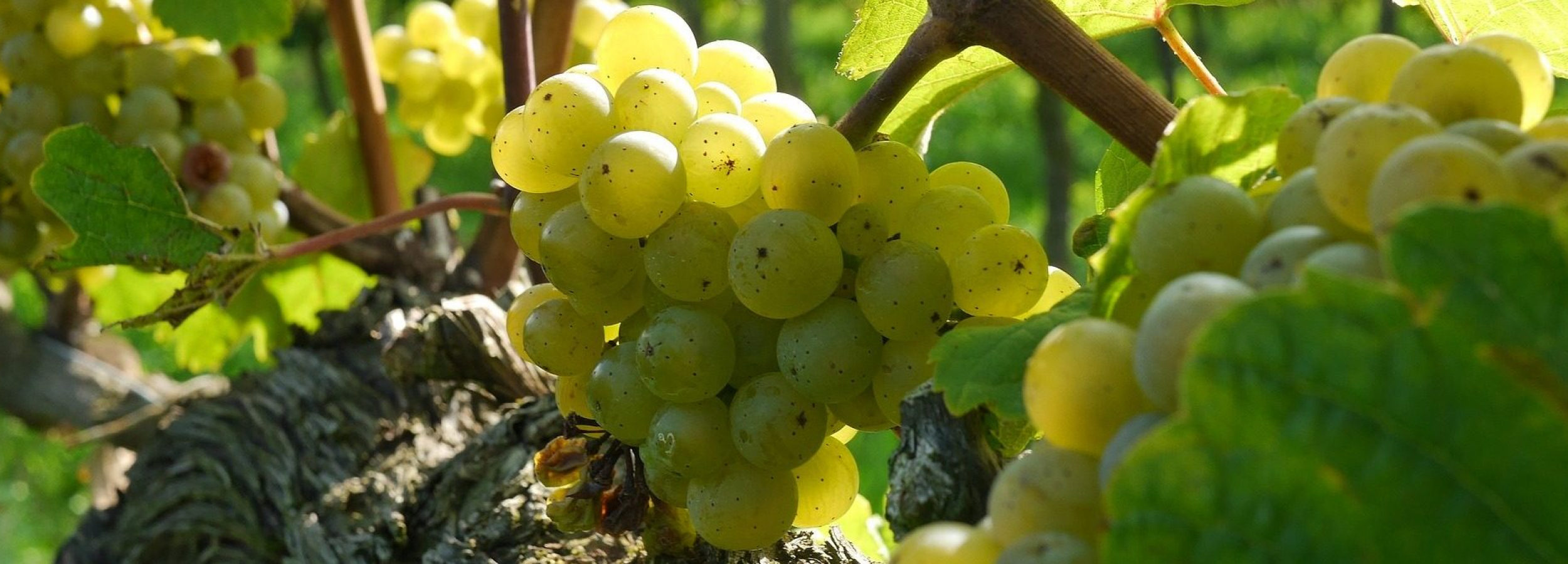 cropped-cropped-grapes-2104077_1920.jpg